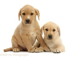 Two cute Yellow Labrador puppies lounging together