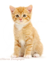 Ginger kitten sitting