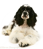 American Cocker Spaniel lying with head up
