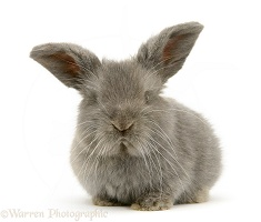 Grey baby Lop rabbit