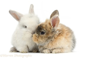 Two cute baby bunnies kissing