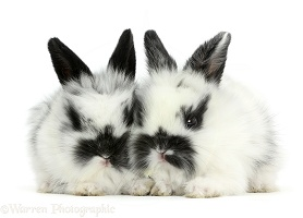 Two cute black-and-white baby bunnies