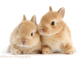 Two cute baby sandy bunnies