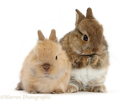 Two cute baby Netherland Dwarf bunnies, one washing
