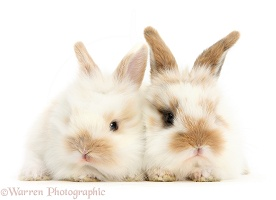 Two cute baby bunnies