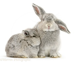 Two baby silver rabbits