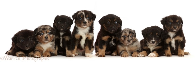 Eight Mini American Shepherd puppies, 5 weeks old