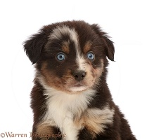 Mini American Shepherd puppy, 5 weeks old