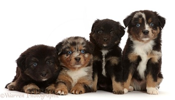 Four Mini American Shepherd puppies, 5 weeks old