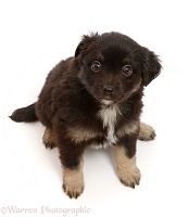 Mini American Shepherd puppy, 5 weeks old, sitting looking up