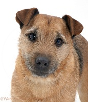 Border Terrier-cross dog portrait