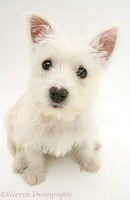 Westie pup looking up