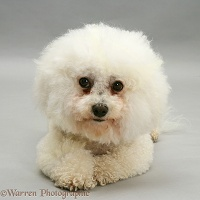 Bichon Frise bitch on grey background