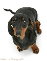 Black-and-tan miniature Dachshund looking up