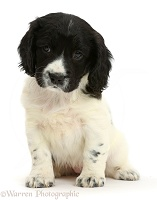 Springer Spaniel puppy sitting