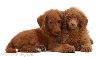 Red Poodle and Red Goldendoodle puppies