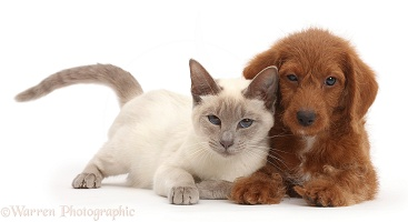 Blue-point Birman-cross cat and red Goldendoodle puppy
