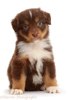 Chocolate tricolour Mini American Shepherd puppy