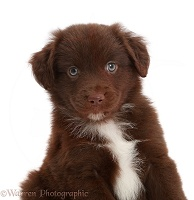 Chocolate Mini American Shepherd puppy