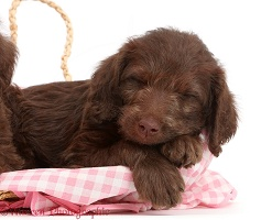 Chocolate Labradoodle puppy sleeping