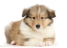 Sable Rough Collie puppy, 7 weeks old