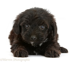 Black Yorkipoo pup, 6 weeks old