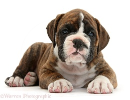 Boxer puppy lying with head up