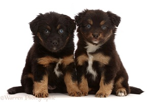 Two Mini American Shepherd puppies, 5 weeks old