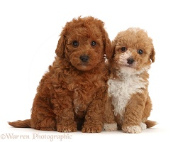 F1b toy goldendoodle puppies sitting