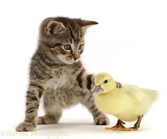 Tabby kitten looking and pawing at yellow duckling