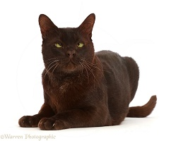 Chocolate Bombay x Burmese female cat, with crossed eyes