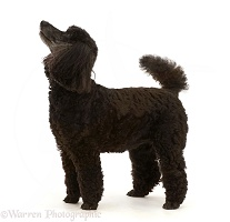 Black Poodle, 9 years old, standing and looking up, profile