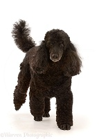 Black Poodle, 9 years old, walking