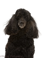 Black Poodle, 9 years old, portrait