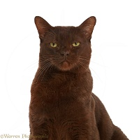Chocolate Bombay x Burmese Male cat, 9 years old
