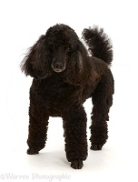 Black Poodle, 9 years old, standing