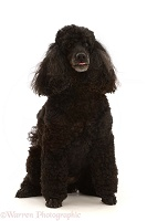 Black Poodle, 9 years old, sitting