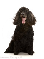 Black Poodle, 9 years old, yawning