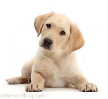 Yellow Labrador Retriever puppy lying head up