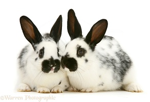 Pair of English spotted rabbits