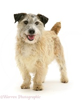 Terrier-cross standing