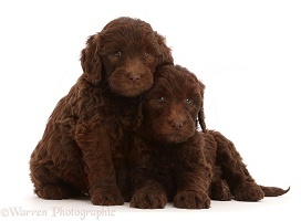 Two Chocolate Labradoodle puppies