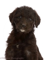 Black Labradoodle puppy, portrait