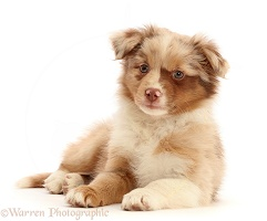 Mini American Shepherd puppy