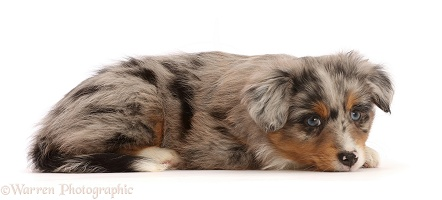 Mini American Shepherd puppy, 7 weeks old