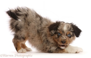 Mini American Shepherd puppy in play bow