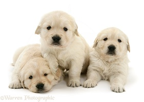 Three Golden Retriever pups, 4 weeks old