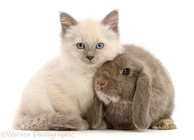 Ragdoll cross kitten, 8 weeks old, and grey lop bunny