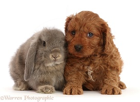Red Cavapoo puppy, and grey Lop bunny