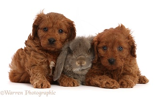 Red Cavapoo puppies, and grey Lop bunny